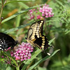 Black Swallowtail and Giant Swallowtail on Joe-Pye Weed