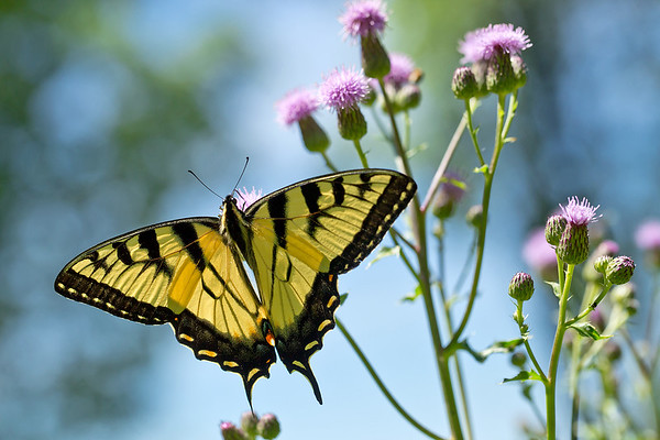 Canadian Tiger Swallowtail Butterfly on Bull Thistle