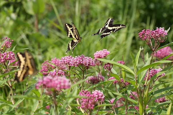 Giant Swallowtail Butterflies