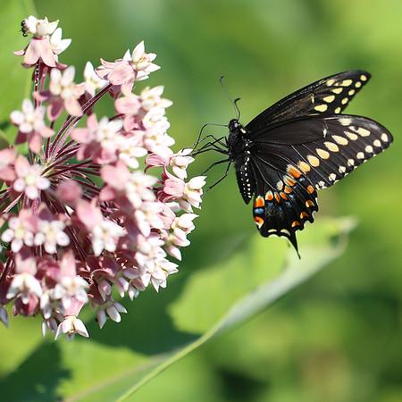 Black Swallowtail Butterfly on Milkweed Flower
