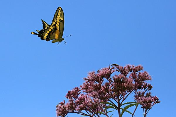 Giant Swallowtail and Joe-Pye Weed