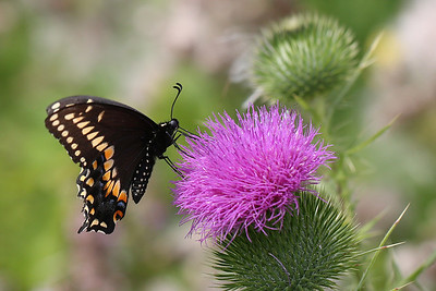 Black Swallowtail Butterfly on Bull Thistle