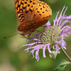 Great Spangled Fritillary butterfly on Wild Bergamot (and a bee)