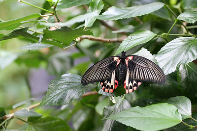 Rumanzovia Swallowtail Butterfly