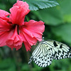 Rice paper butterfly on a beautiful red flower