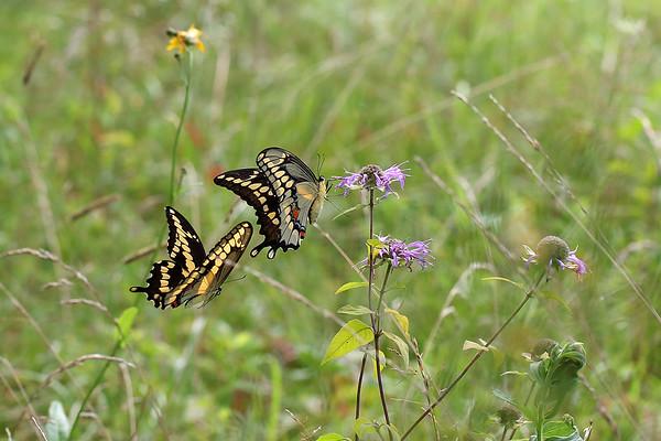 Giant Swallowtail butterfly on Wild Bergamot