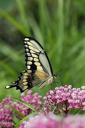 Giant Swallowtail Butterfly on Joe-Pye Weed