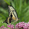Giant Swallowtail Butterfly on Joe-Pye Weed