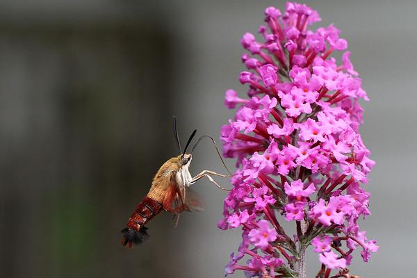 Hummingbird Clearwing Moth by Butterfly Bush flower
