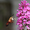 Hummingbird Clearwing Moth by Butterfly Bush flower