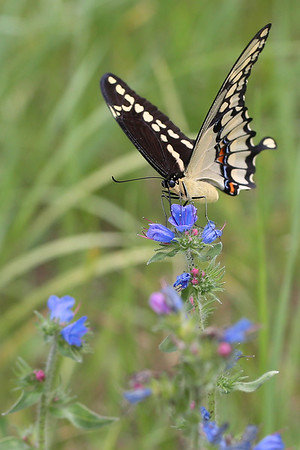 Giant Swallowtail Butterfly on  Viper's Bugloss