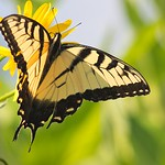 Eastern Tiger Swallowtail Butterfly (Papilio glaucus)