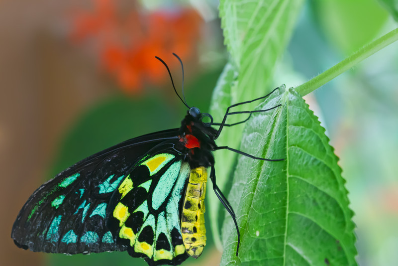 Autstralia's largest butterfly. On the endangered species list.