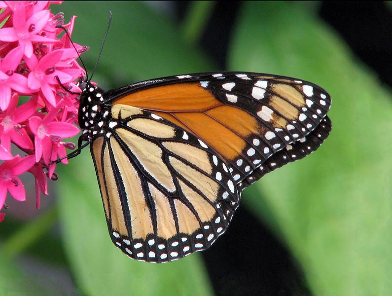 Monarch, Pink,