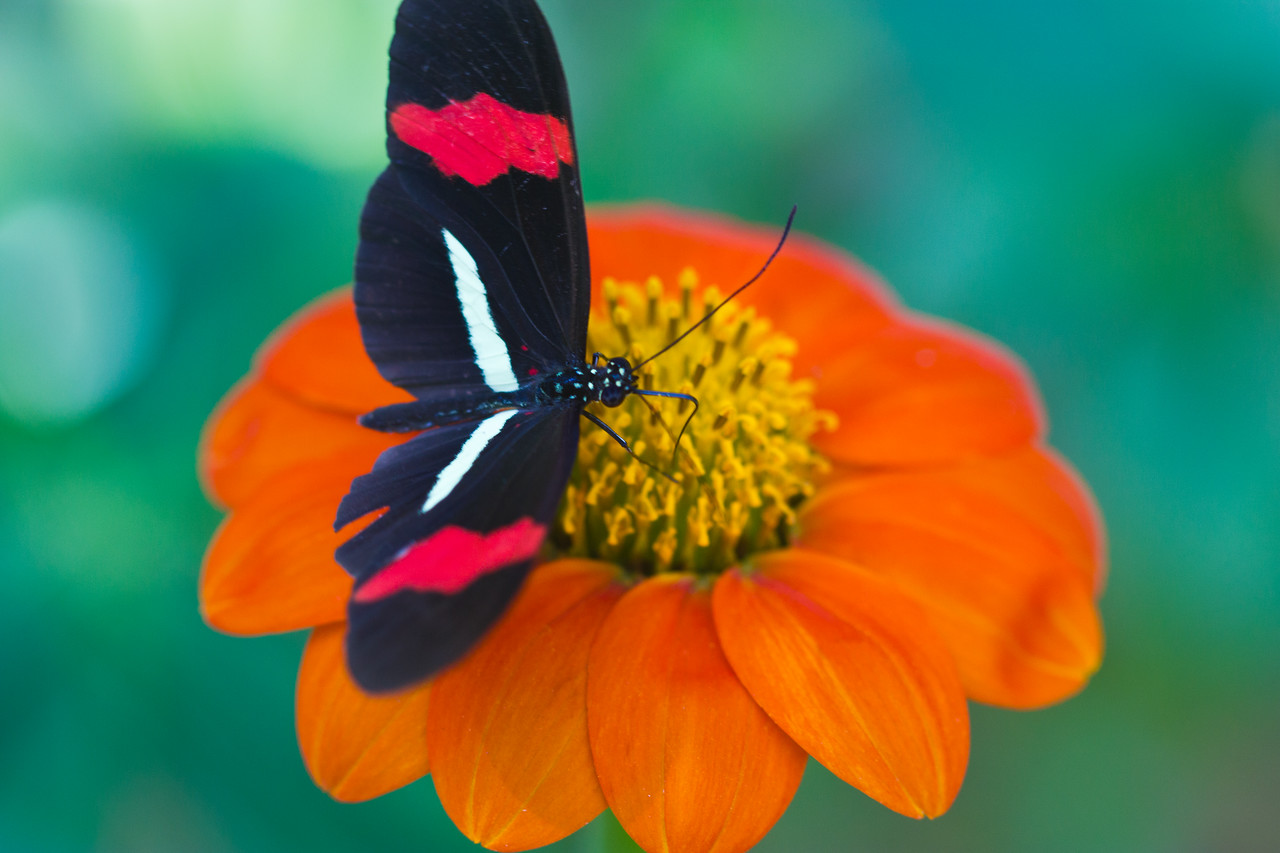 Rosina Butterfly on a Mexican Sunflower