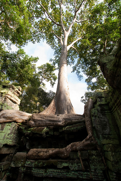 ANGKOR. TA PROHM. GIANT TREE ON THE RUINS OF THE MONASTERY. SIEM REAP.