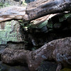 ANGKOR. TA PROHM. CLOSE UP OF THE GIANT ROOTS. SIEM REAP.