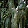 BENG MEALEA. TREE.