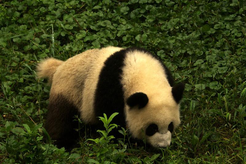 CHENGDU [成都]. SICHUAN. A YOUNG GIANT PANDA [2]. CHENGDU RESEARCH BASE OF GIANT PANDA BREEDING.