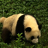 CHENGDU [成都]. SICHUAN. A YOUNG GIANT PANDA [2]. CHENGDU RESEARCH BASE OF GIANT PANDA BREEDING.