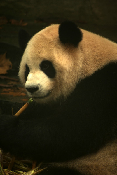 CHENGDU [成都]. SICHUAN. GIANT PANDA EATING HIS BAMBU, CHENGDU RESEARCH BASE OF GIANT PANDA BREEDING.