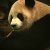 CHENGDU [成都]. SICHUAN. GIANT PANDA EATING HIS BAMBU, CHENGDU RESEARCH BASE OF GIANT PANDA BREEDING.