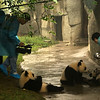 CHENGDU [成都]. SICHUAN. CHENGDU RESEARCH BASE OF GIANT PANDA BREEDING. GIANT PANDA'S EATING [2].