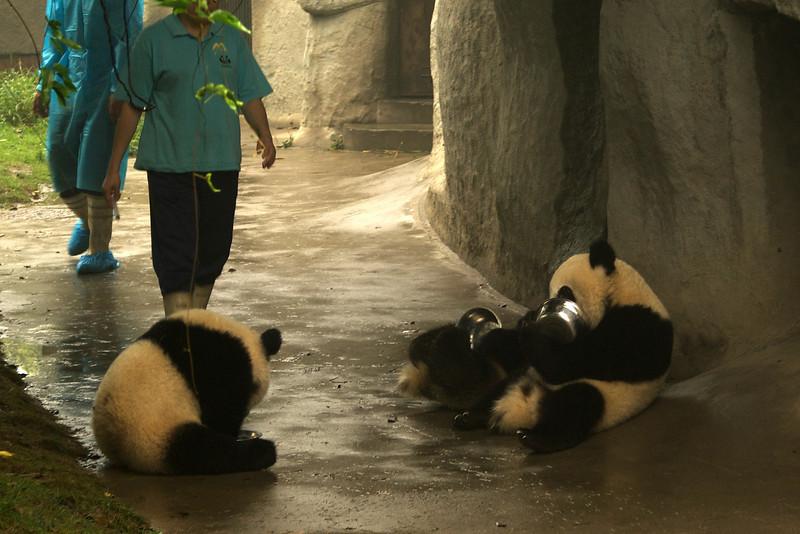 CHENGDU [成都]. SICHUAN. GIANT PANDA'S EATING [1]. CHENGDU RESEARCH BASE OF GIANT PANDA BREEDING.