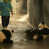CHENGDU [成都]. SICHUAN. GIANT PANDA'S EATING [1]. CHENGDU RESEARCH BASE OF GIANT PANDA BREEDING.