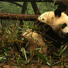 CHENGDU [成都].SICHUAN. A GIANT PANDA EATING HIS BAMBU [2]. CHENGDU RESEARCH BASE OF GIANT PANDA BREEDING.