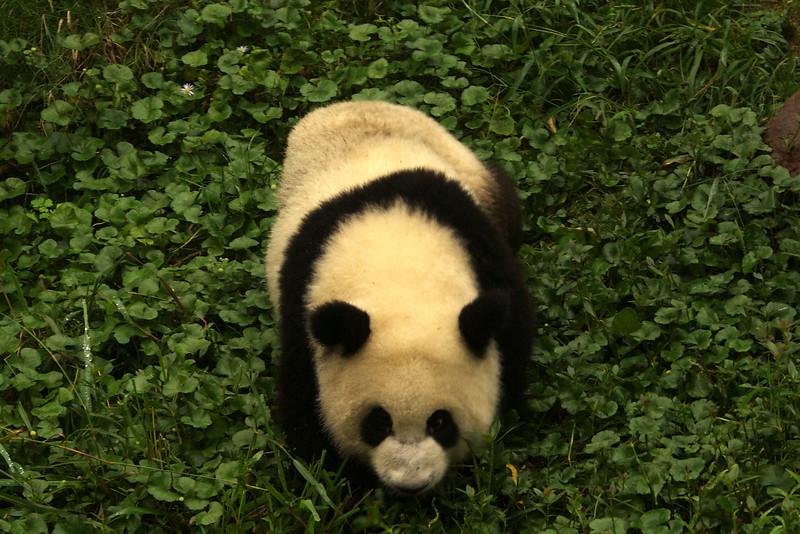 CHENGDU [成都]. SICHUAN. A YOUNG GIANT PANDA. CHENGDU RESEARCH BASE OF GIANT PANDA BREEDING.