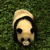 CHENGDU [成都]. SICHUAN. A YOUNG GIANT PANDA. CHENGDU RESEARCH BASE OF GIANT PANDA BREEDING.