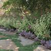 Echeveria 'Afterglow' (foreground), Helichrysum (midground), Penstemon 'Garnet' (back ground)
