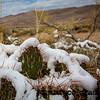 Snow on Cactus