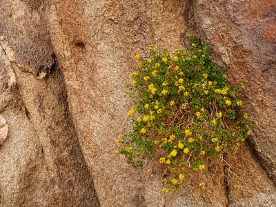 Clinging to life Joshua Tree National Park