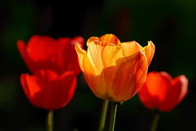Backyard Daffodils Orangevale