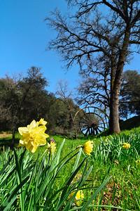 Daffodils and Mining Wheel Jackson