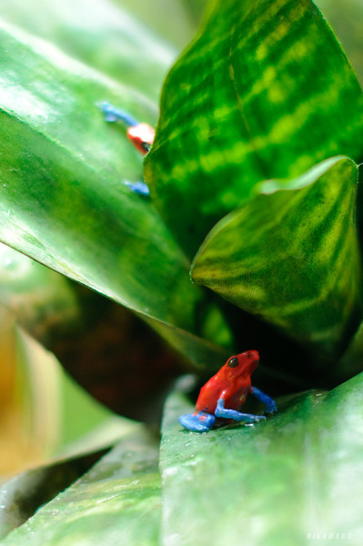 Strawberry Blue-jeans Poison Dart Frog