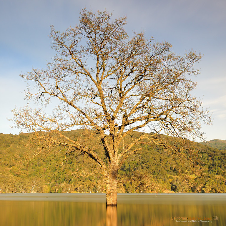 """Lone Oak"" <br>Location: Lexington Reservoir, Los Gatos, California.  <p><p>I am always on the hunt for lone oak trees. There is something very captivating about them photographically. Mostly I imagine these oak trees on the rolling hills of northern California, but when I saw this oak trees submurged in water and without it's leaves I felt the contrast very appealing. Here is this oak tree that seemingly appears devoid of life even though there is plenty of water to nourish it.  <p>Anyhow, the story is that this year has been very wet in California with significantly above average rainfall. This has caused water levels in reservoirs to rise to levels not seen in several years. So what used to be a hiking trail around this oak tree is now submurged under water. So I was glad to take this opportunity and photograph this oak tree using long exposure to smooth out the ripples and give a minimalist composition.  <p>Tech Info: <br>Lens: Canon EF 17-40mm f/4L @ 40mm <br>Camera: Canon EOS 5D Mk II <br>Exposure: 70sec at f/14 and ISO 50 <br>Filters: Lots of solid ND filters to cut down light for long exposure and LEE ND Grad 0.9 soft edge"