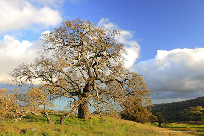"""California Oak"" Location: Joseph D Grant State Park, California.  There is something very captivating about the branching of an oak tree. During spring when the hills are green here in California and the oak tree has not yet sproutted new leaves, it is a great time to photograph it. On this particular day the air was crisp and late evening light was illuminating the tree against interesting backdrop of passing clouds.  Tech Info: Lens: Canon EF 24-70 f/2.8L @ 35mm Camera: Canon EOS 5D Mk II Exposure: 1/6sec at f/14 and ISO 50 Filters: B+W Circular Polarizer"