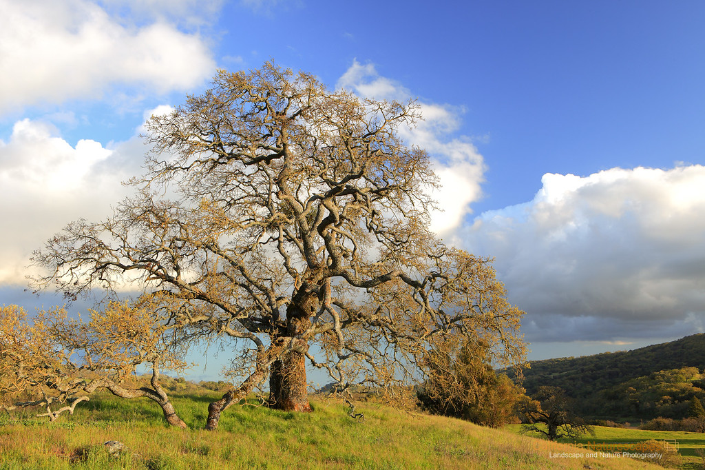 """California Oak""<br /> Location: Joseph D Grant State Park, California.<br /> <br /> There is something very captivating about the branching of an oak tree. During spring when the hills are green here in California and the oak tree has not yet sproutted new leaves, it is a great time to photograph it. On this particular day the air was crisp and late evening light was illuminating the tree against interesting backdrop of passing clouds.<br /> <br /> Tech Info:<br /> Lens: Canon EF 24-70 f/2.8L @ 35mm<br /> Camera: Canon EOS 5D Mk II<br /> Exposure: 1/6sec at f/14 and ISO 50<br /> Filters: B+W Circular Polarizer"