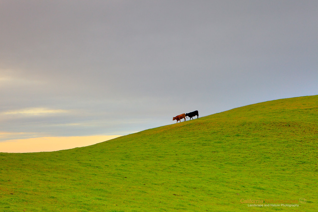 """Great Cheese Comes from Happy Cows,<br /> Happy Cows Come from California""<br /> Location: Calaveras Hills, Milpitas, California.<br /> <br /> Remember the ad, ""Great cheese comes from happy cows, happy cows come from California"". One foggy morning of spring at sunrise I came here to visit these happy cows. The visit went okay except for some weird calls and hand waiving I had to do to make these guys move into the frame. It was fun.<br /> <br /> Tech Info:<br /> Lens: Canon EF 24-70 f/2.8L @ 70mm<br /> Camera: Canon EOS 5D Mk II<br /> Exposure: 1/30sec at f/13 and ISO 800<br /> Filters: LEE ND Grad 0.9 soft edge"