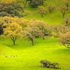 """""""Five Deer and One Eagle"""" <br>Location: Livermore Hills, Fremont/Livermore, California.  <p><p>An early spring scene here in Bay Area... the grass is so lush and green at this time of the year. The fact that within few weeks it may turn dry in absence of rains, makes it even more appealing. The oak trees are just about to sprout leaves and I find them best to photograph during this season.  <p>However, this visit was special. I saw a herd of deer and an eagle on the oak tree enjoying this landscape along with me. Try to locate the eagle, it is sitting on a branch of the oak tree on the right!  <p>Tech Info: <br>Lens: Canon EF 70-200 f/4L IS @ 200mm <br>Camera: Canon EOS 5D Mk II <br>Exposure: f/13sec and f/11 and ISO 160 <br>Filters: No filters"""