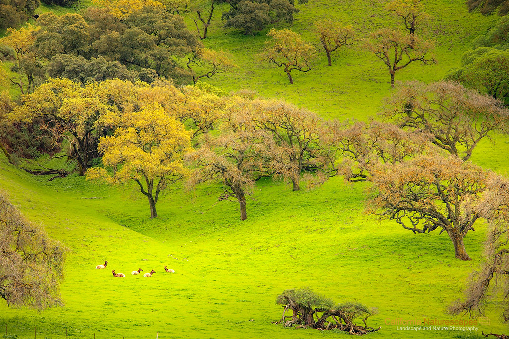 """Five Deer and One Eagle"" <br>Location: Livermore Hills, Fremont/Livermore, California.  <p><p>An early spring scene here in Bay Area... the grass is so lush and green at this time of the year. The fact that within few weeks it may turn dry in absence of rains, makes it even more appealing. The oak trees are just about to sprout leaves and I find them best to photograph during this season.  <p>However, this visit was special. I saw a herd of deer and an eagle on the oak tree enjoying this landscape along with me. Try to locate the eagle, it is sitting on a branch of the oak tree on the right!  <p>Tech Info: <br>Lens: Canon EF 70-200 f/4L IS @ 200mm <br>Camera: Canon EOS 5D Mk II <br>Exposure: f/13sec and f/11 and ISO 160 <br>Filters: No filters"