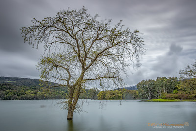 Lone Tree at Lexington Reservoir