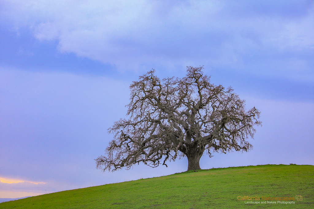"""California Oak""<br /> Location: South Bay Hills, San Jose, California.<br /> <br /> When I think of Bay Area landscape I think of rolling hills that are ocassionally dotted with lone oak trees. I have been on the lookout for such views but so far found none that were in the form I could capture in a frame. So I was very happy today to finally find a lone oak tree and that too close to where I live.<br /> <br /> Spring is just around the corner which means this landscape will look drastically different in a matter of few weeks. The oak will get new canopy of leaves, the grass will turn golden yellow and storm clouds will be all but gone. I will be back to capture it again but like the oak tree in this look better. There is something about the way it branches that stands out in contrast against the simplicity of the rolling hill.<br /> <br /> In the distant sunset is taking place with shades of warm colors in the sky.<br /> <br /> Tech Info:<br /> Lens: Canon EF 70-200 f/4L IS @ 89mm<br /> Camera: Canon EOS 5D MK II<br /> Exposure: 1/4sec at f/5.6 and ISO 400<br /> Filters: No Filters"