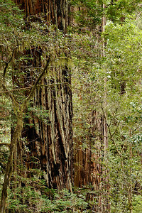 Dwarfing 'normal' trees Lady Bird Johnson Grove Redwood National Park