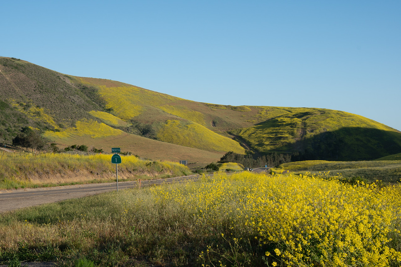 Fields of mustard just south of Lompoc