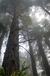 Redwoods Rising