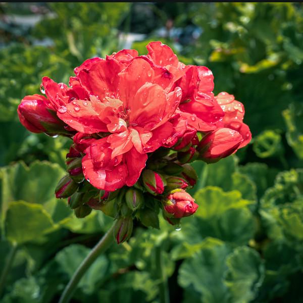 Geranium after a spring rain